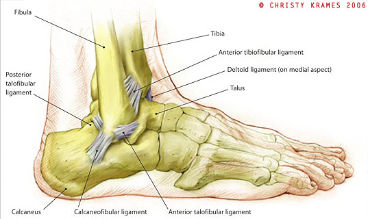 ankle diagram  dry docked – three steps to avoiding ankle injuries ... #10