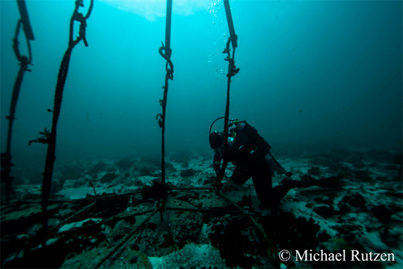 """A diver fitting the """"Sharksafe"""" barrier that resembles kelp into the seabed."""