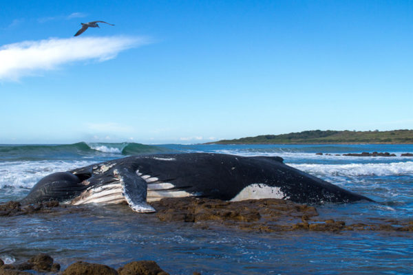 beached-whale-tyrell-jordaan-