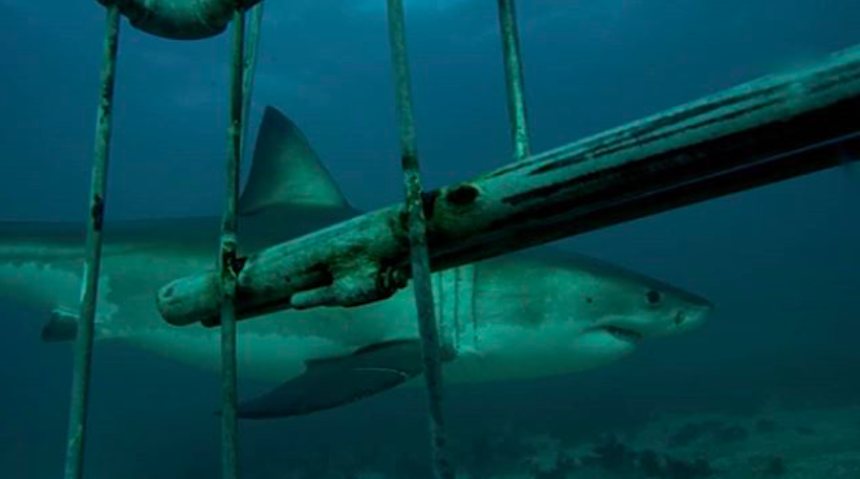 White Sharks are 'Disappearing' Here's Why